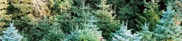 Mit viel Gefühl: Tipps für den Baumkauf